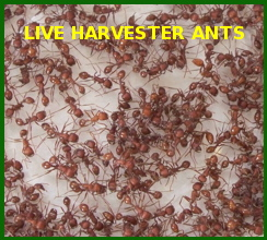 picture of live ants