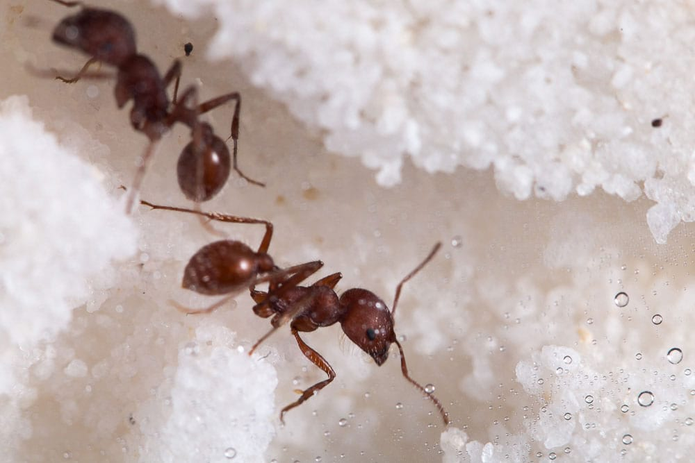 Live Ants Regular Supply - $4.99 0