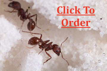 Live Ants Regular Supply - $4.99